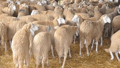 Photo of عنابة: فتح 20 نقطة لبيع أضاحي العيد في ظل تدابير احترازية للوقاية من فيروس كورونا