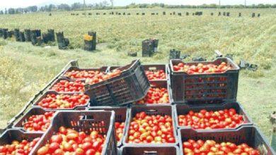 Photo of أزيد من 2،4 مليون قنطار من الطماطم الحقلية منتظر خلال الموسم الفلاحي الجاري بالوادي