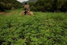 """Photo of Cannabis farming: Moroccan government covers its economic failure by """"legalizing drugs"""""""
