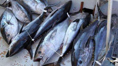 Photo of عين تموشنت: مشاركة أربع سفن في الحملة الوطنية لصيد التونة الحمراء